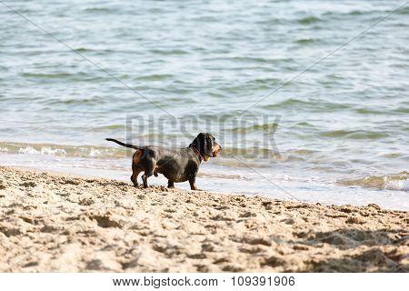 Dachshund On The Sandy Beach A Sunny Day