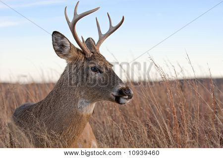 White tailed deer.