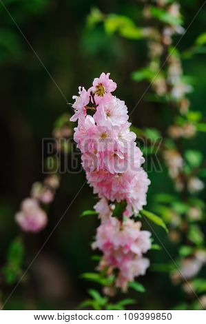 pink Delphinium in spring garden tall attractive flower with big stems poster