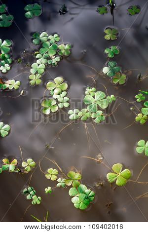 Water Four Leaf Clover In Dappled Sunlight