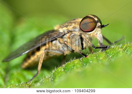 Band-eyed brown horsefly (Tabanas bromius)