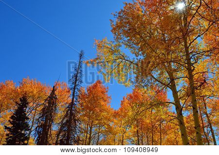 Blue Sky and Golden Aspen Trees