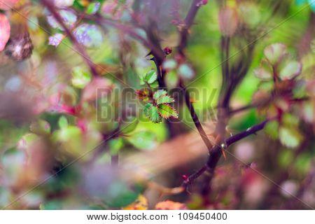 Selective Focus Of Rosebush