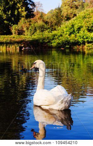 White Whooping Swan On Lake