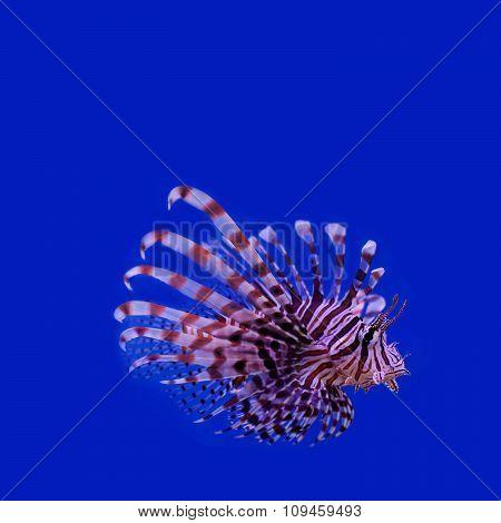 Red lionfish. Pterois miles. poisonous ocean fish. blue background. soft focus, copy space.