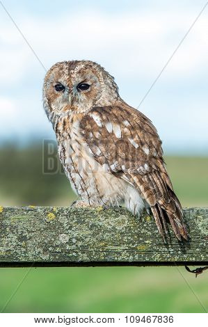 Tawny Owl (Strix Aluco) perched on an old moss covered fence poster