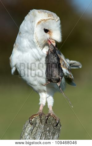 Barn Owl (Tyto Alba) on fence post with captured mouse in beak poster