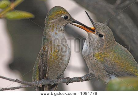 Humming bird feeding baby