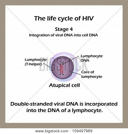 The life cycle of HIV. Stage 4 - The double-stranded viral DNA is incorporated into the DNA of a lym