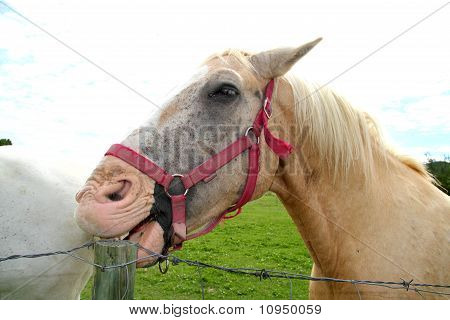 Whoite Horse Eating Wood Pole Funny Gesture