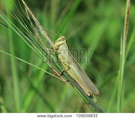 Grasshopper Perching On Green Grass
