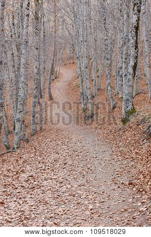 Pathway On A Autumn Beech Forest Landscape. Tejera Negra. Spain
