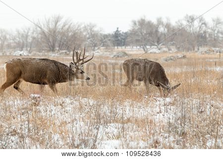 Mule Deer Buck and Doe in Rut