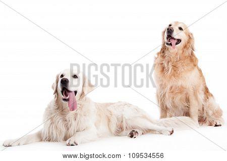 2 Golder Retriever Dogs On White