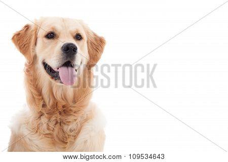 Portrait Of Golder Retriever