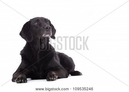 Labrador Is Laying Down