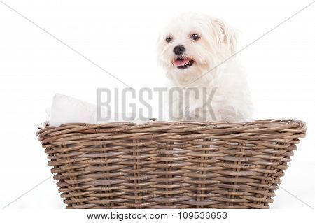 Maltezer In A Basket