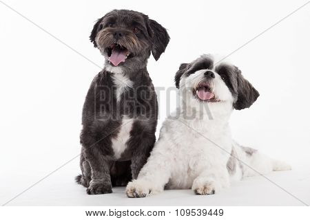2 Shi Tzu Dogs On White