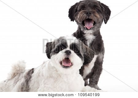 Shi Tzu Dogs In The Studio