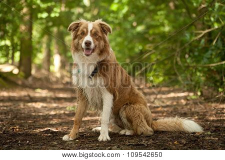 A Border Collie In The Forest