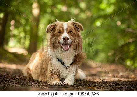 Border Collie On The Ground