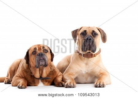 2 Bull Mastiff Dogs  Looking