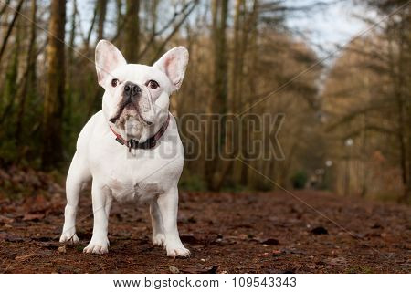 Franse Buldog Standing In The Forest