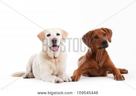 Rhodesian Ridgeback  And Golden Retriever