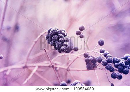 Berries Of Wild Privet In Hoarfrost