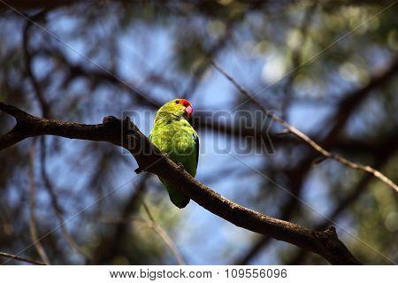 Black-winged Lovebird