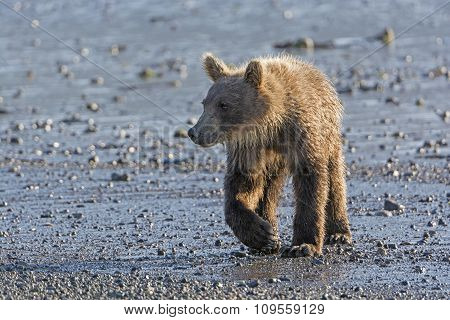 Young Grizzly Bear On A Coastal Estuary