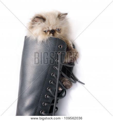 Cat In Boots - Himalauan Cat In Combat Boot