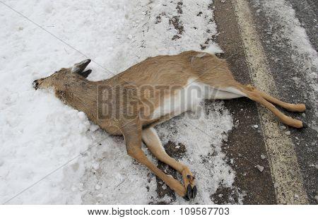 Deer Car Kill