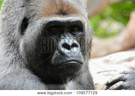 Strong Adult Black Gorilla