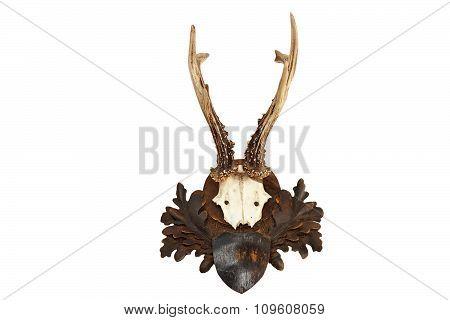 Beautiful Roebuck Hunting Trophy