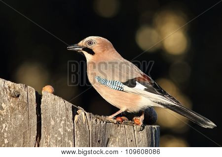Closeup Of Eurasian Jay