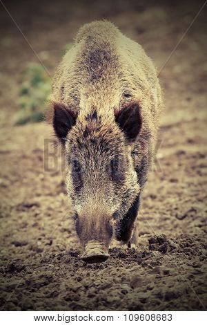 Wild Boar Looking At The Camera