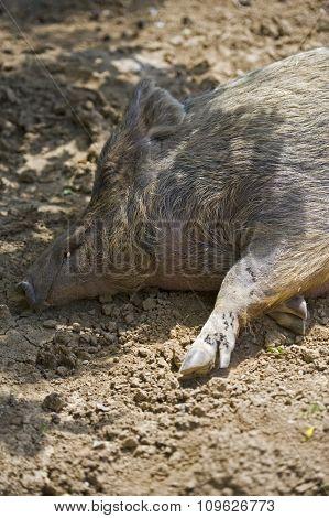 Lazy Hog