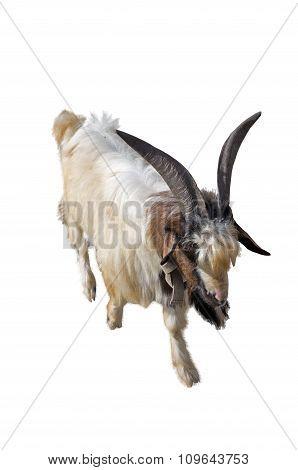 The Big Goat