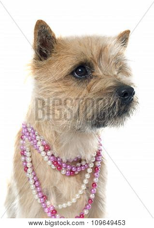 purebred cairn terrier in front of white background poster