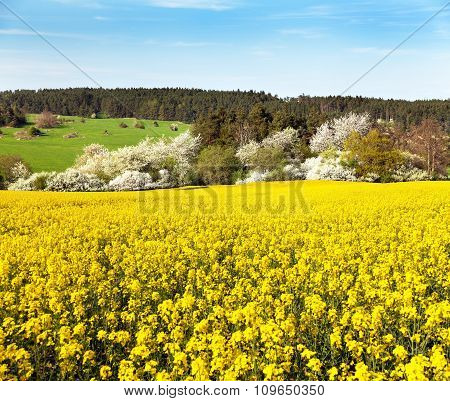 Rapeseed Field - Brassica Napus - Plant For Green Energy