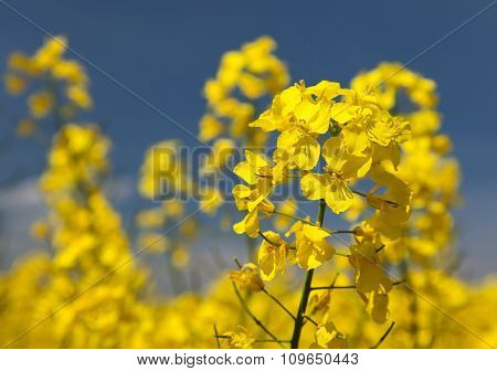 Detail Of Flowering Rapeseed