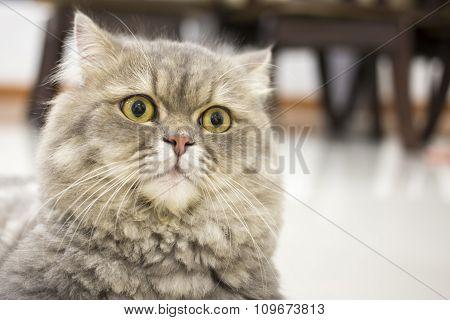 Closeup Persian Cat