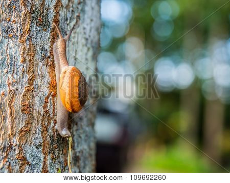 One Of Brown Snail Is Climbing Up The Tree.snail Is A Common Name That Is Applied Most Often To Land