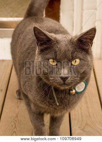 Gray Cat On Wooden Deck