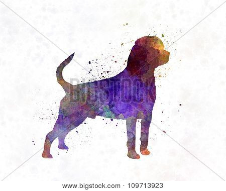 Rottweiler In Watercolor