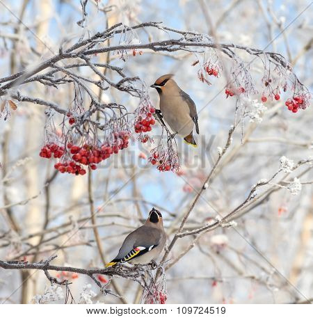 Waxwing on branch