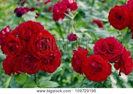 The shrub of Shalom's Rose in the rose garden in Baden Austria