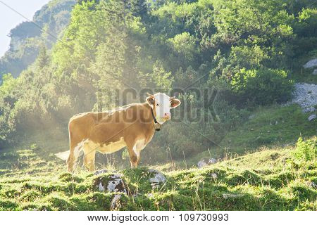 Hereford Cattle Beef Breed Cow Grazing On Alpine Mountains Slopes