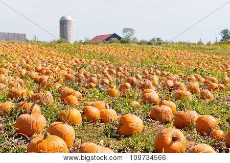Pumpkin Field In A Country Farm,   Autumn Landscape.
